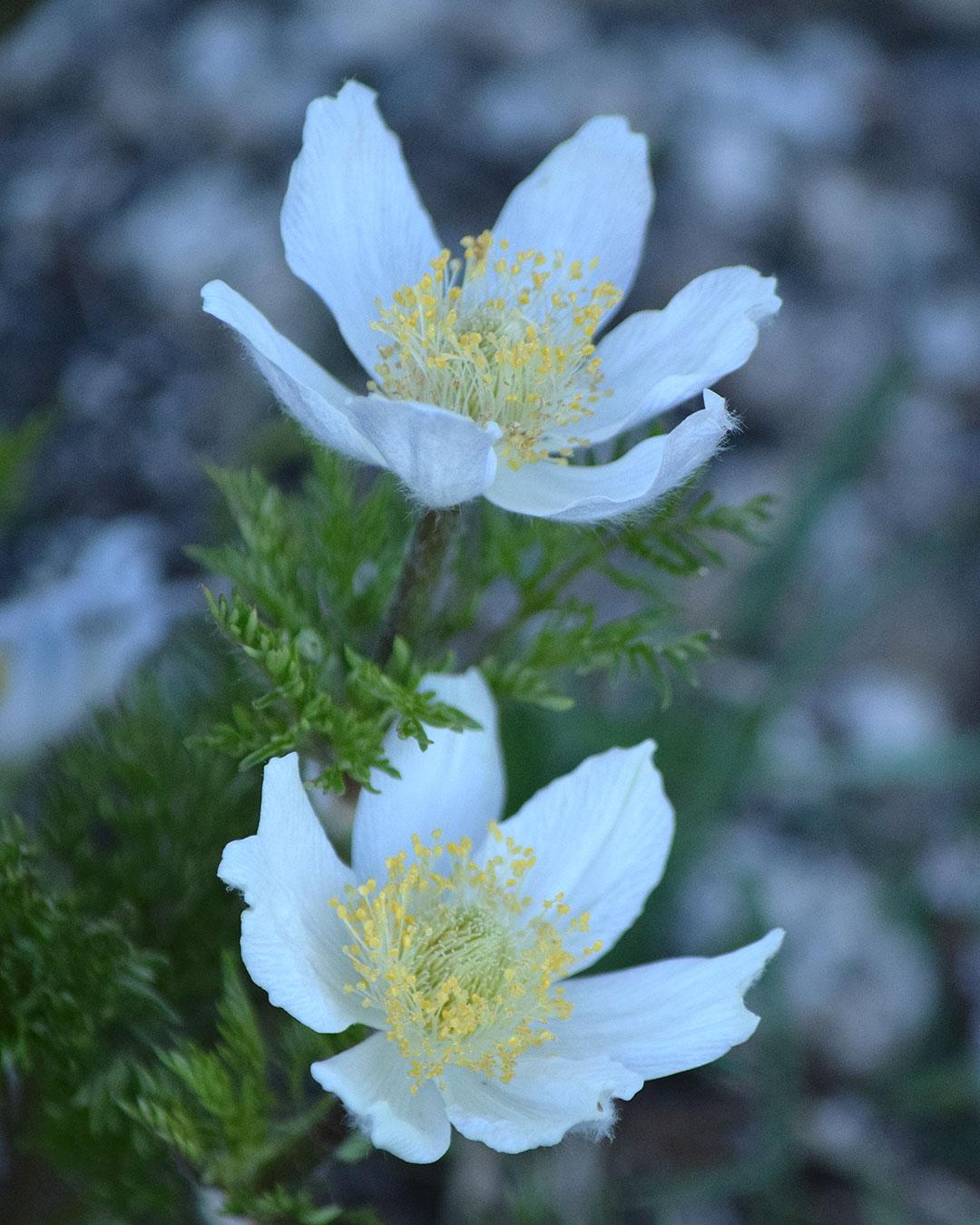 White Pasqueflower