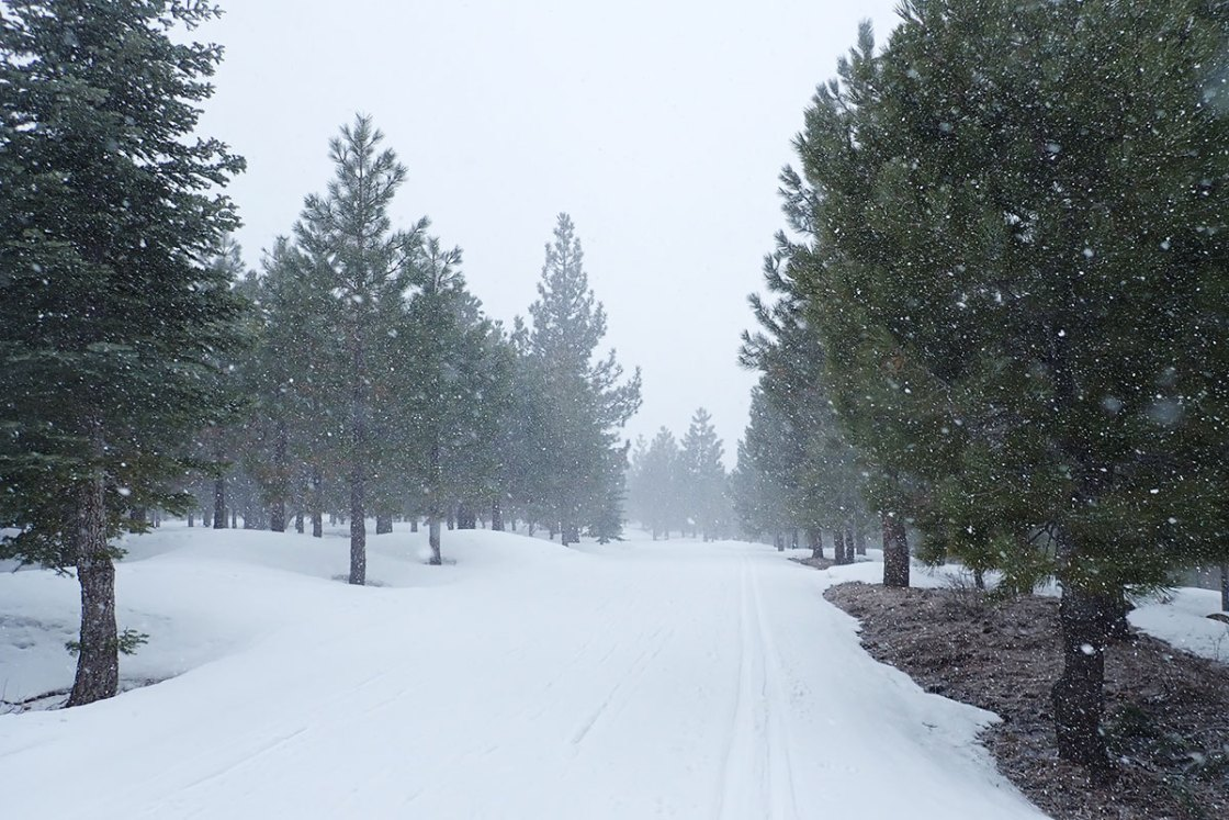 Pine trees along a cross-country ski trail during a snowstorm