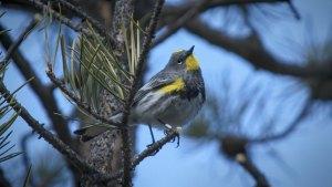 Audubon's Warbler (Setophaga coronata ssp. auduboni)