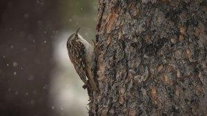Brown Creeper (Certhia americana)
