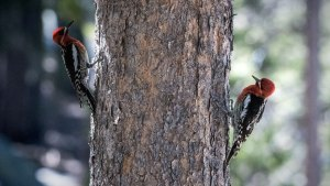 Red-Breasted Sapsuckers - Sphyrapicus ruber