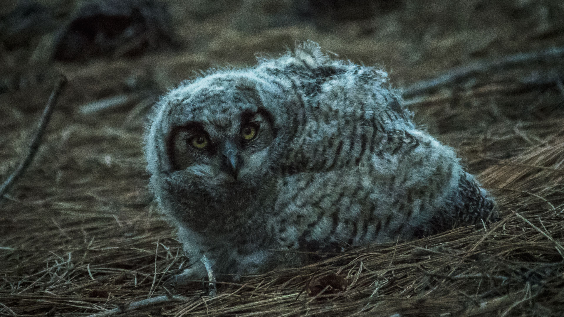 Great Horned Owl (juvenile) - Bubo virginianus