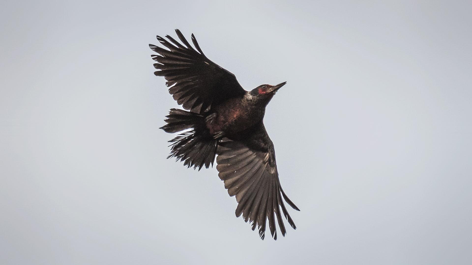 Lewis' Woodpecker - Melanerpes lewis