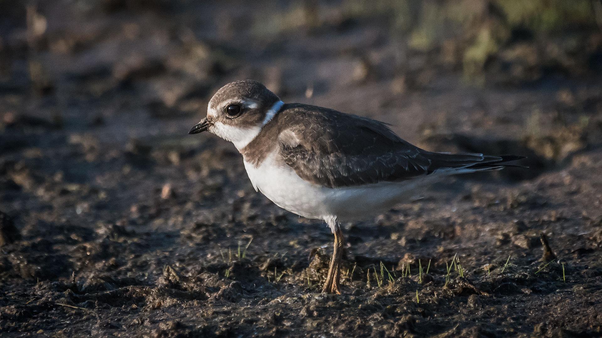 Semipalmated Plover - Charadrius semipalmatus