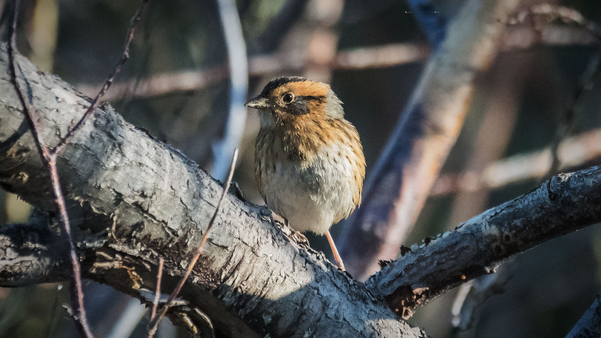 Nelson's Sparrow - Ammospiza nelsoni