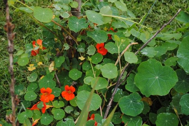capucine jardin B 2013