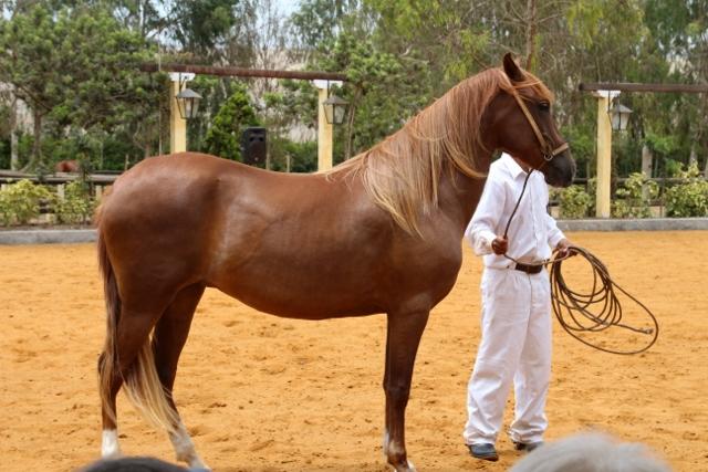 Paso Peruvian Horse