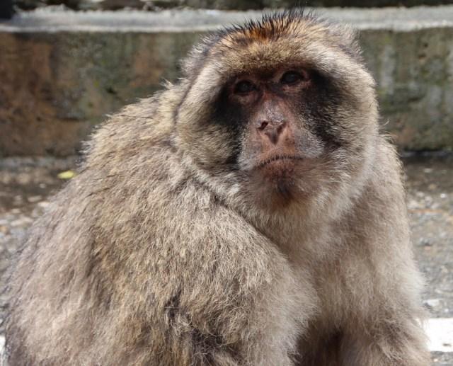 Barbary Macaque, Gibraltar