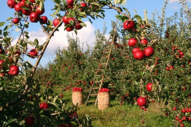 my grandmothers orchard