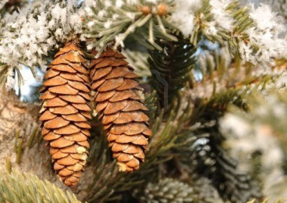 Yule Pine Cones