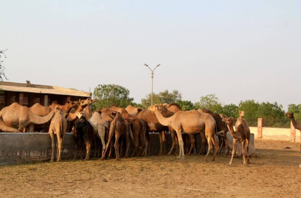 Camels at the camel research center Bikaner, Rajasthan