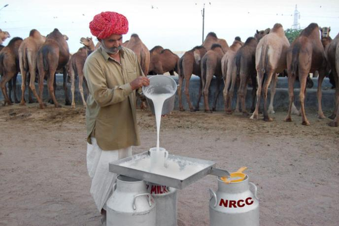 Collecting camel milk