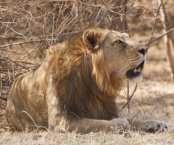 Asiatic lion Gir Forest National Park in Gujarat