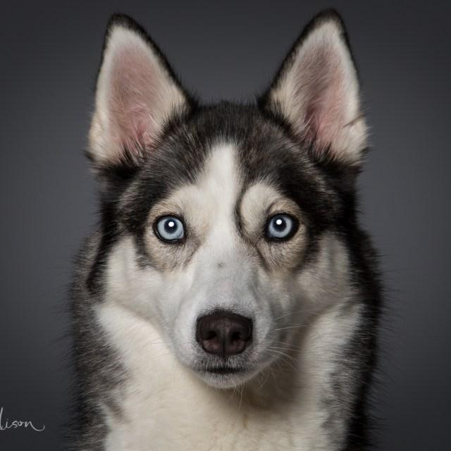 Husky Studio Portrait