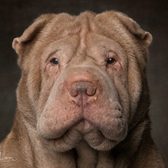 Portrait of a Sharpei