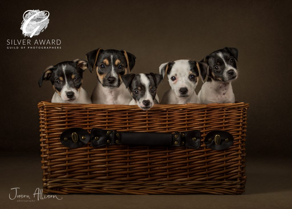 Photographic Portrait of a basket of Jack Russells