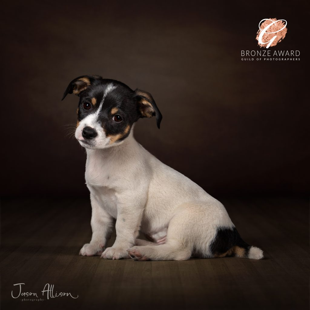 Jack Russell puppy photographic portrait