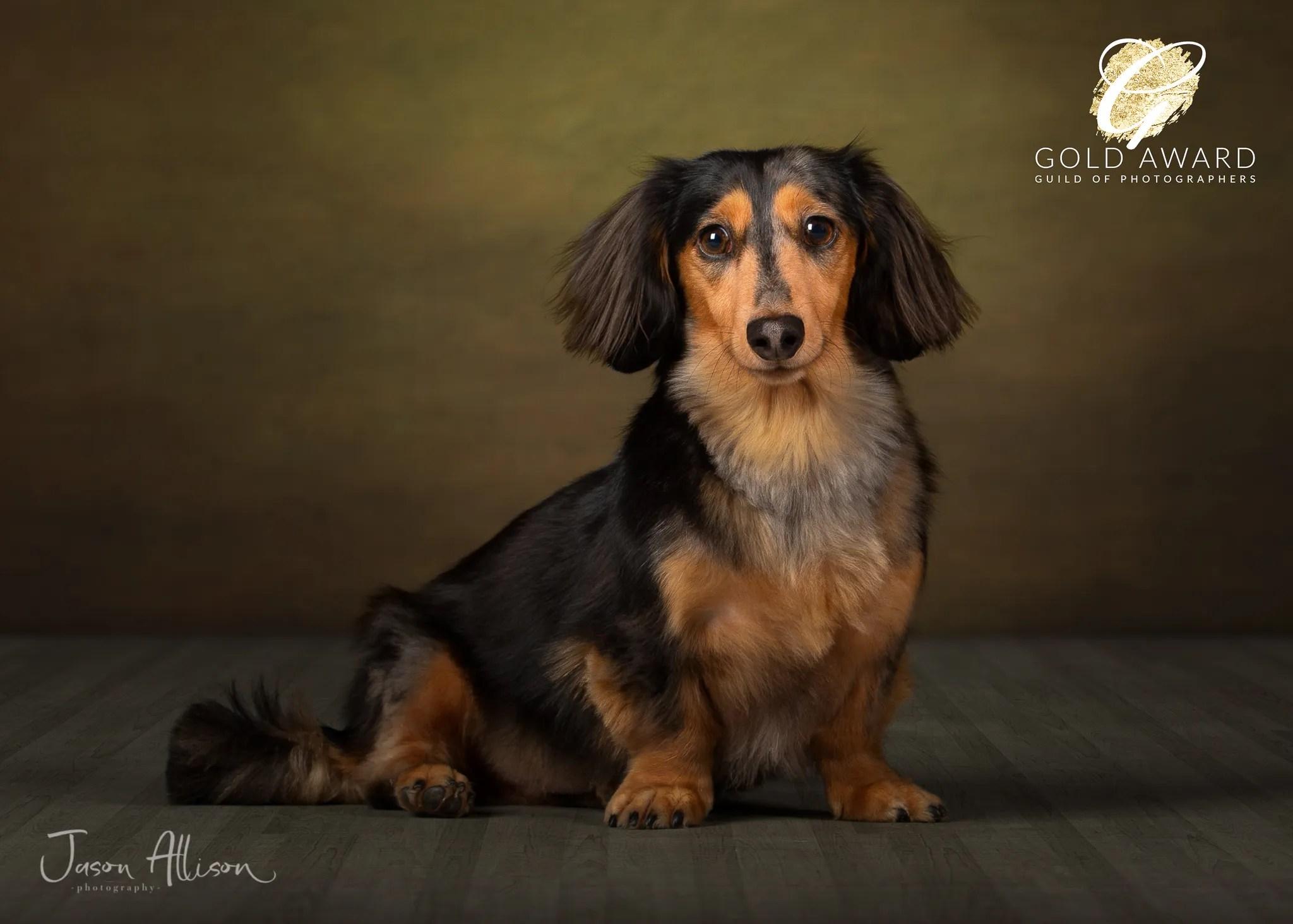 Bailey the Dachshund by Jason Allison