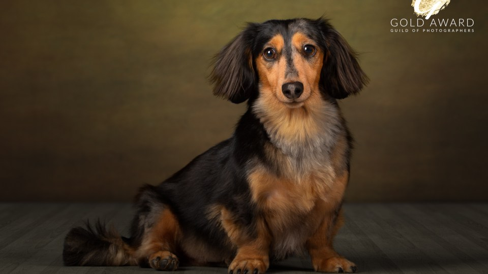 Bailey the Dachshund by Jason Allison
