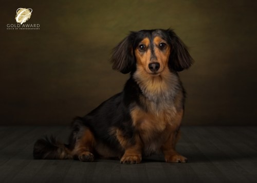 Bailey the Dachshund by Jason Allison Dog Photography