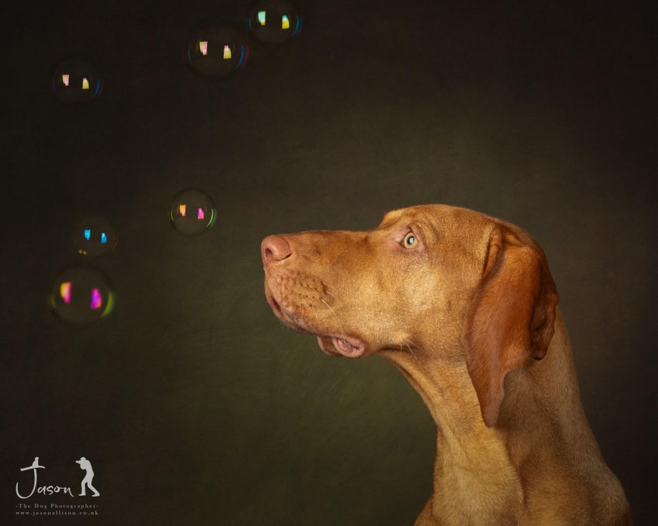 Hungarian Vizsla portrait experience by Jason Allison Dog Photography