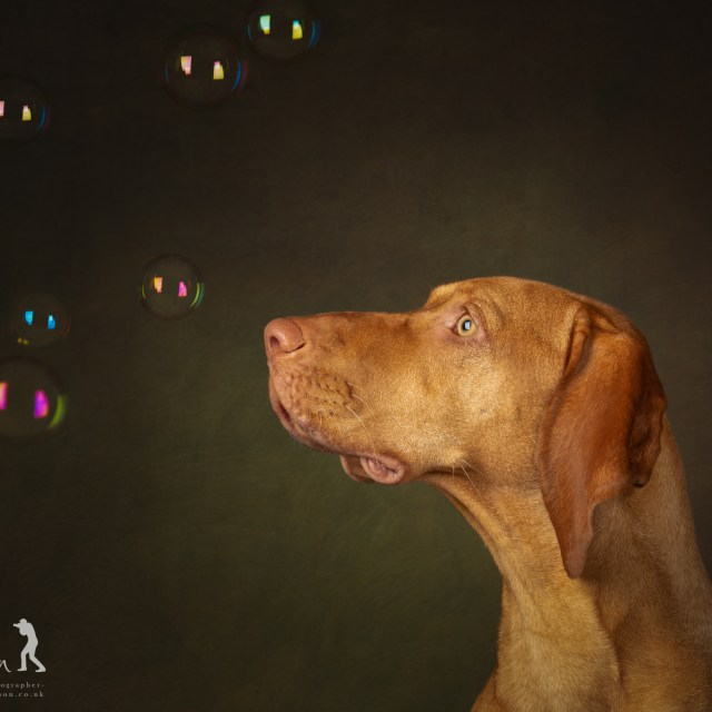 Hungarian Vizsla portrait experience by Jason Allison Dog Photography