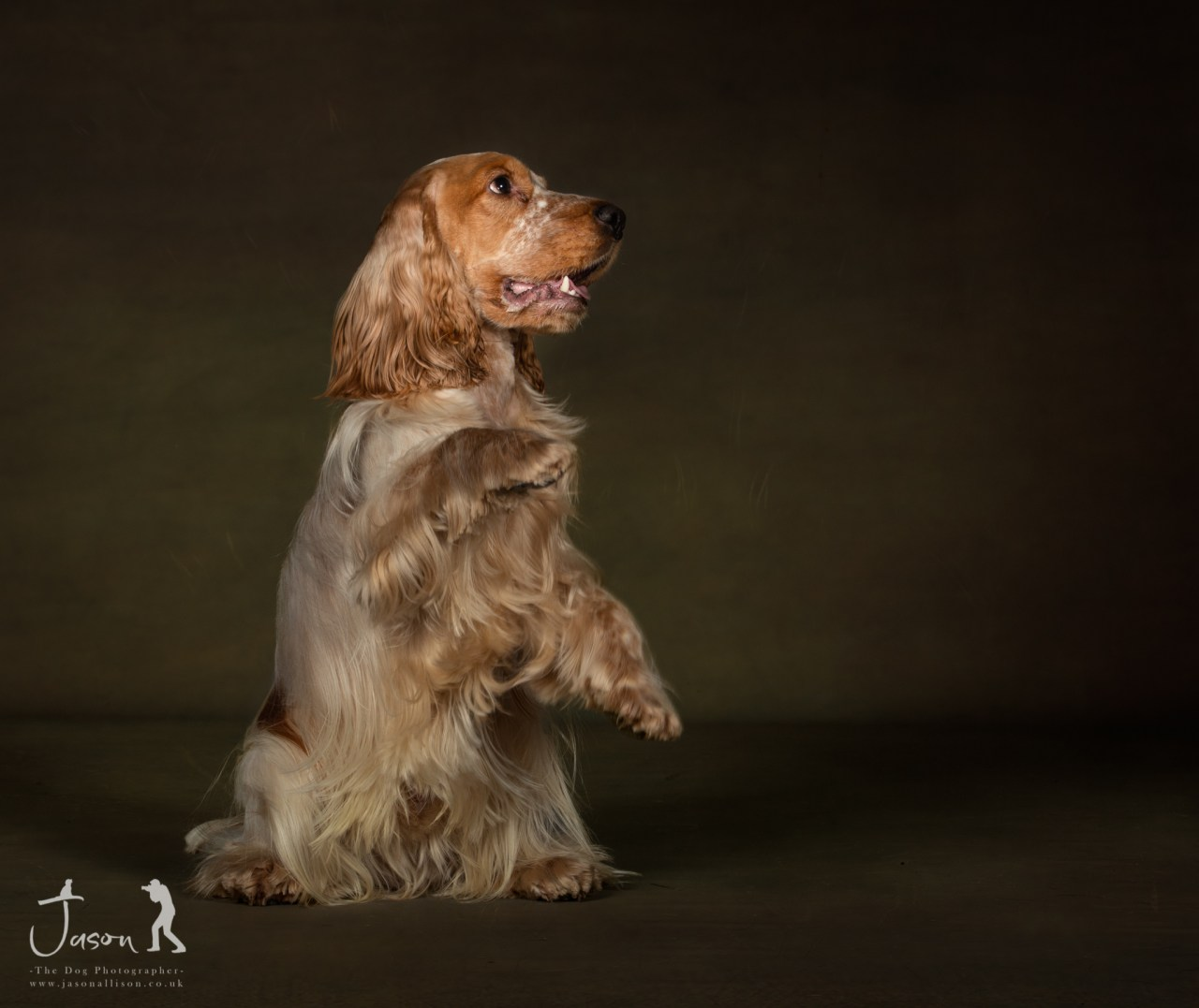 Ted the English Cocker Spaniel portrait by Jason Allison Dog Photography