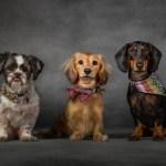 Jasper the Shih Tsu, Darwin & Darcy the Dachsunds by Jason Allison Dog Photography