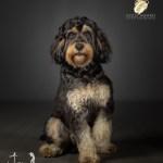 Rab the Cockapoo by Jason Allison Dog Photography