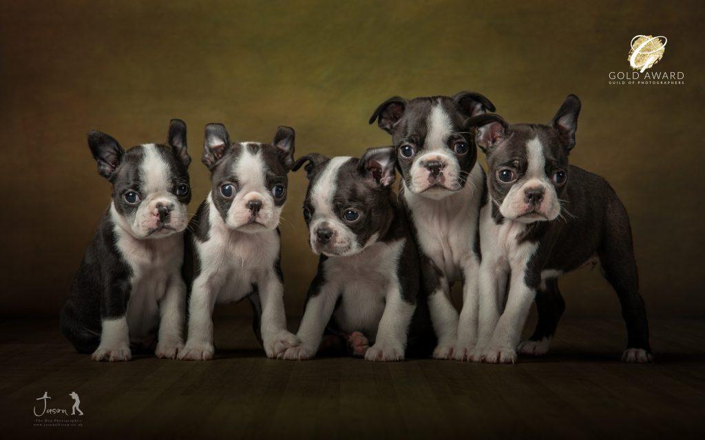 Image of Boston Terrier Litter
