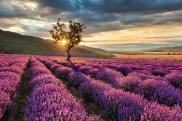 TSDS108310-lavender-field