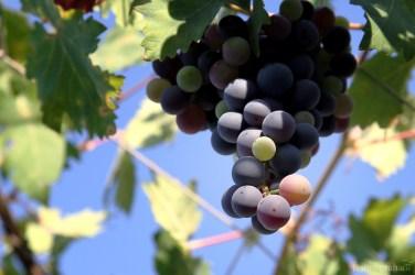 grapes-0874