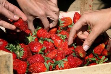 strawberries-9043