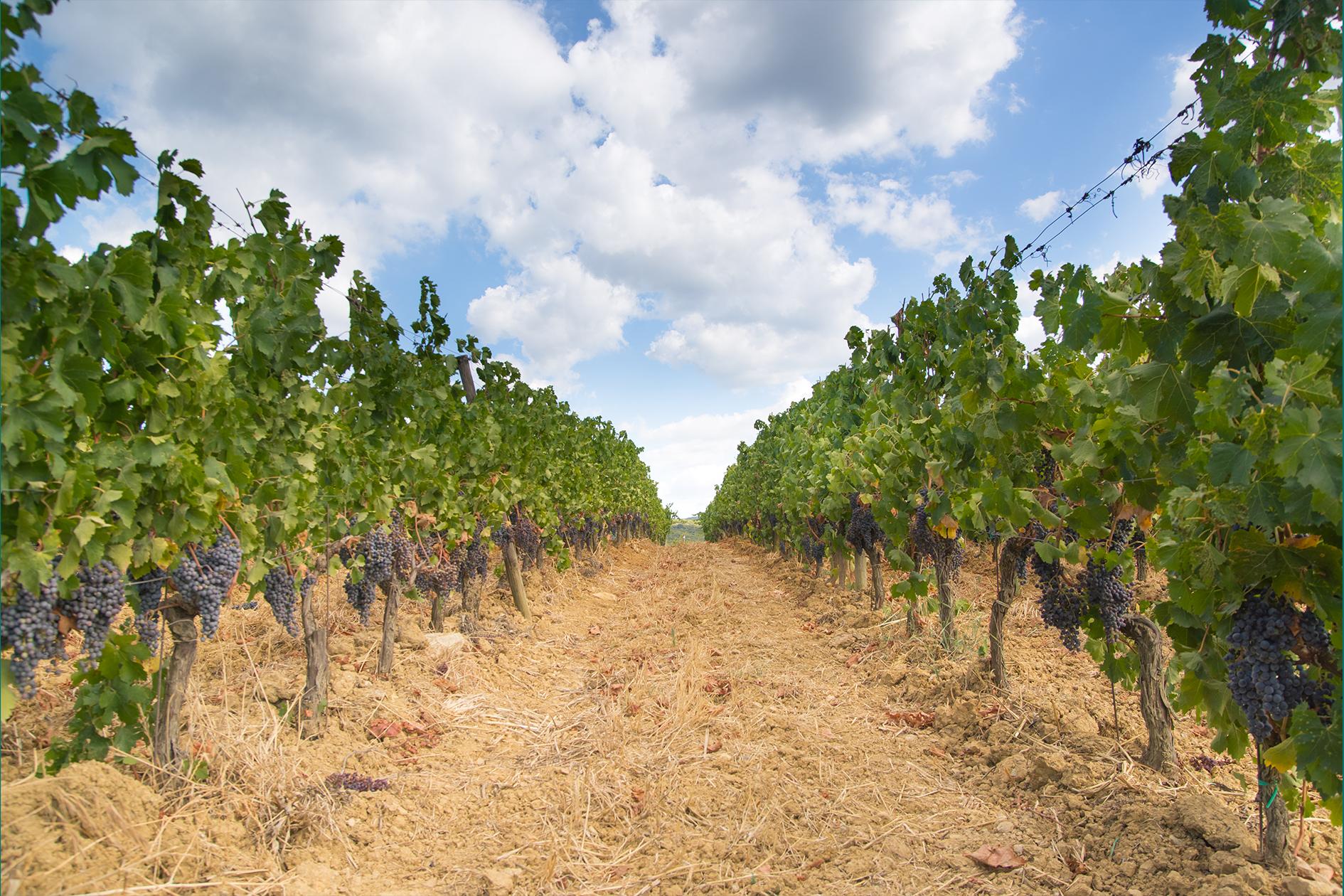 jason-b-graham-grapes-uzum-0005