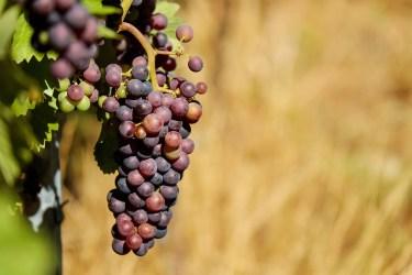 jason-b-graham-grapes-uzum-0006