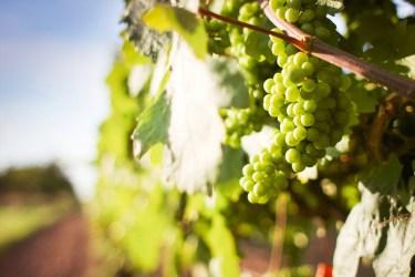 jason-b-graham-grapes-uzum-0010