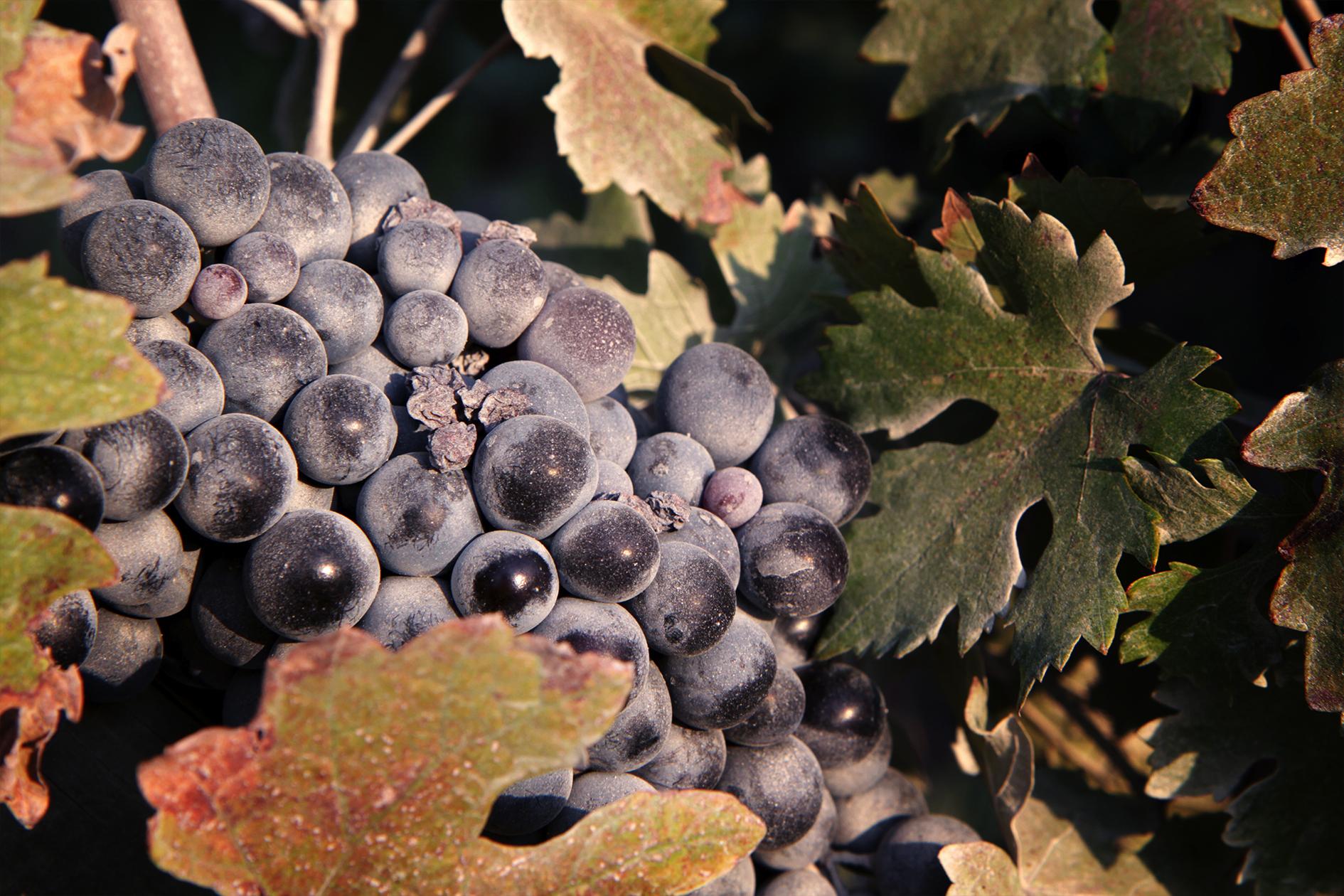 jason-b-graham-grapes-uzum-0020