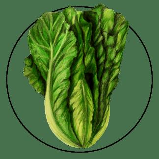 attribute-motif-lettuce