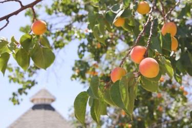 jason-b-graham-apricot-kayisi-0005