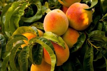 jason-b-graham-peach-seftali-0002