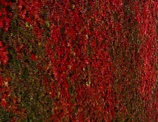 fall ivy on a cambridge wall