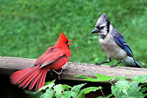 Blue_jay_cardinal_filteredsmall