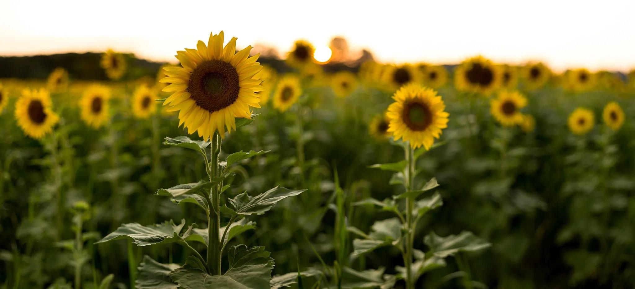 Sussex-sunflowers-2015-17-PSedit-2