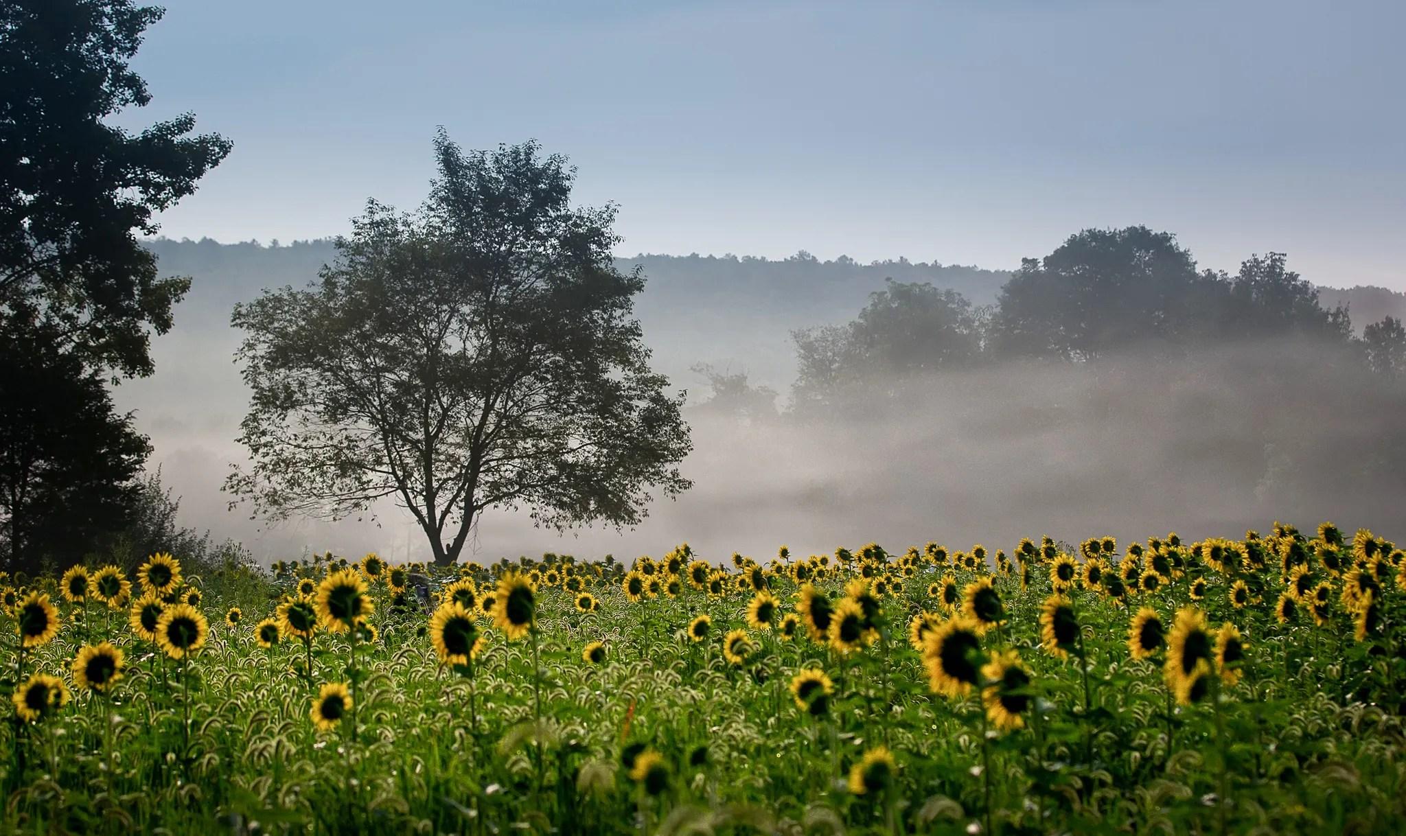 Sussex-sunflowers-2015-220-PSedit-PSedit