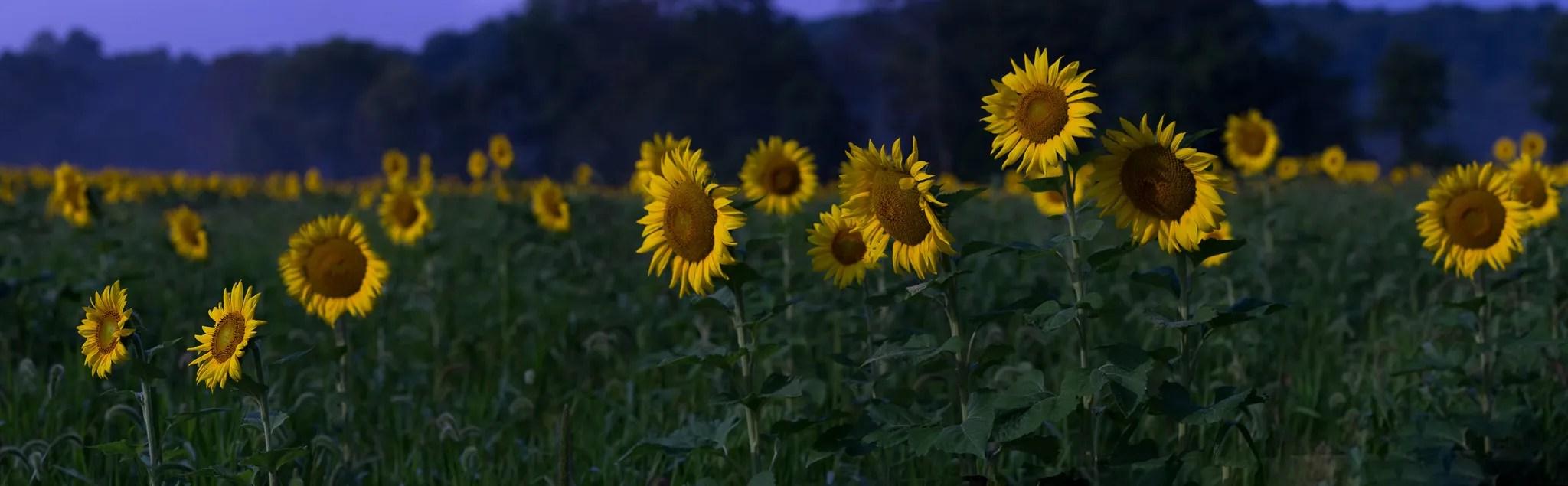 Sussex-sunflowers-2015-228-Pano-PSedit-PSedit