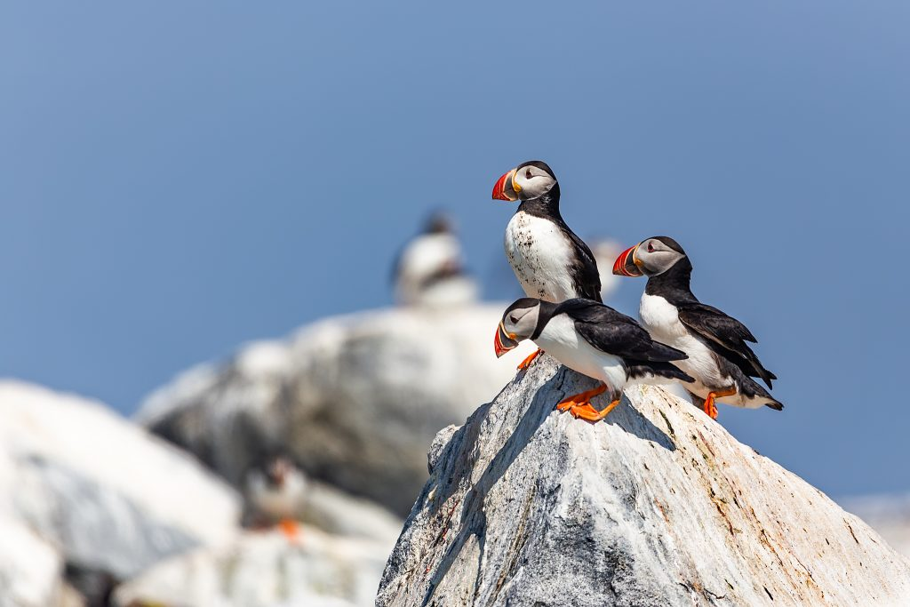 Groups of Puffins all over the rocks, rarely sitting still for long