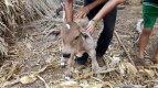 23. Brendan's Farm Petting Baby Cow