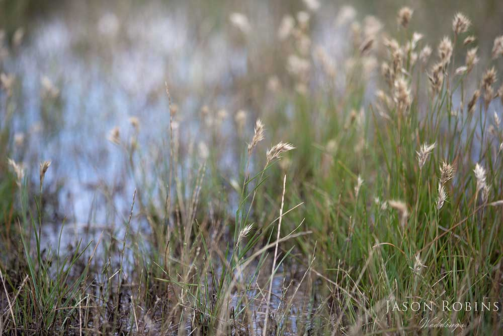 native grass at Native Dog Swamp wetlands in NSW