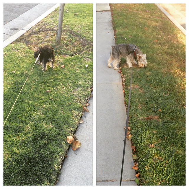 Walking these two, they both want to go different directions. #doggie #dog #dogs #dogsofinstagram #yorkie #schnauzer #snorkie 2