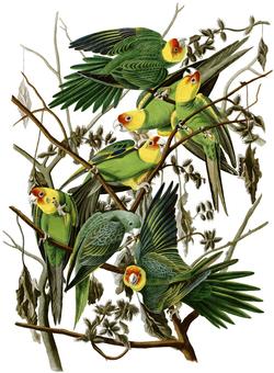 carolina_parakeet_eastern_subspecies_audubon.jpg